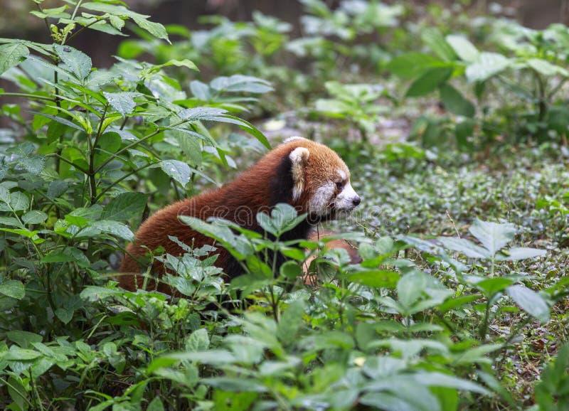 Röd panda på zoo i Chengdu, Kina arkivbilder