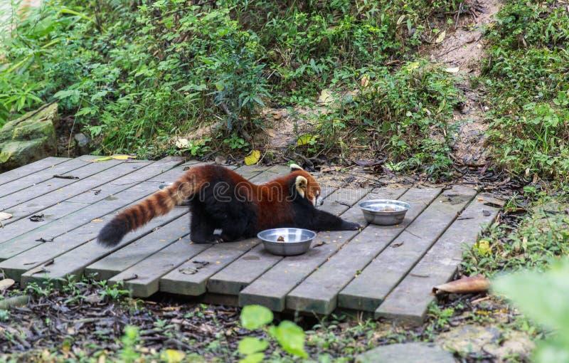 Röd panda på zoo i Chengdu, Kina royaltyfri fotografi