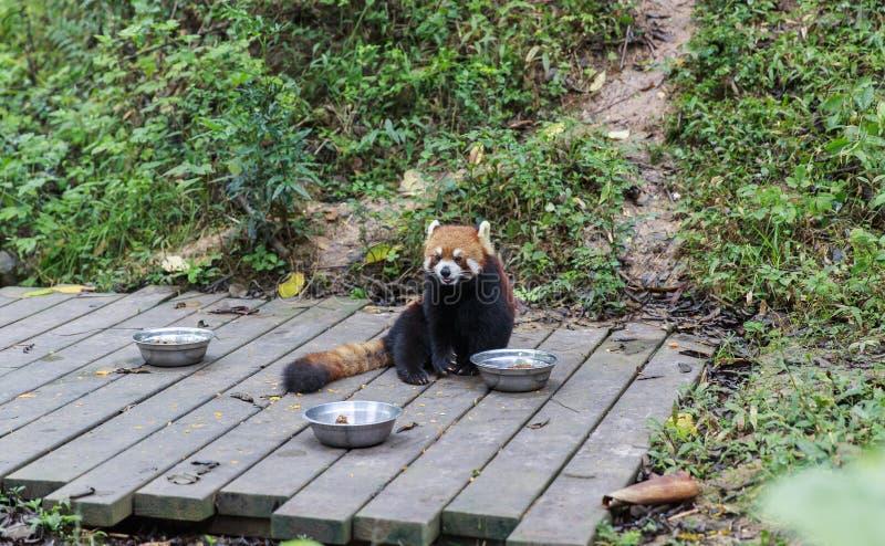 Röd panda på zoo i Chengdu, Kina arkivfoto