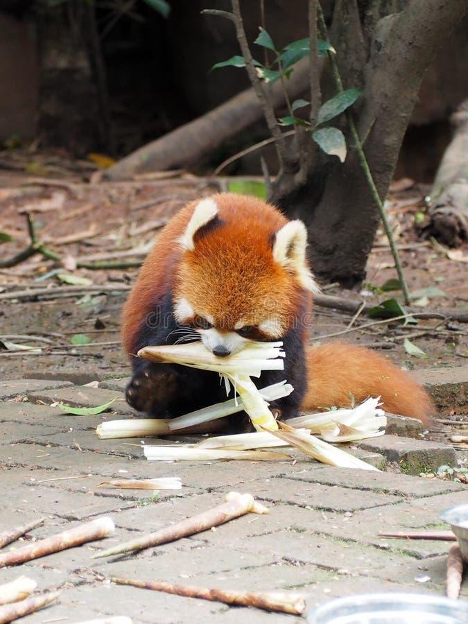 Röd panda som äter bambuskott royaltyfri foto