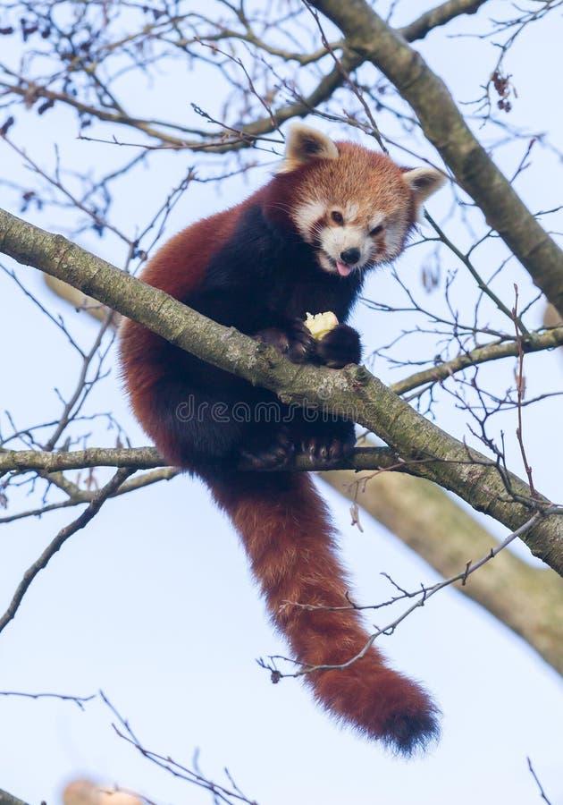 Röd panda som äter ett äpple arkivbilder