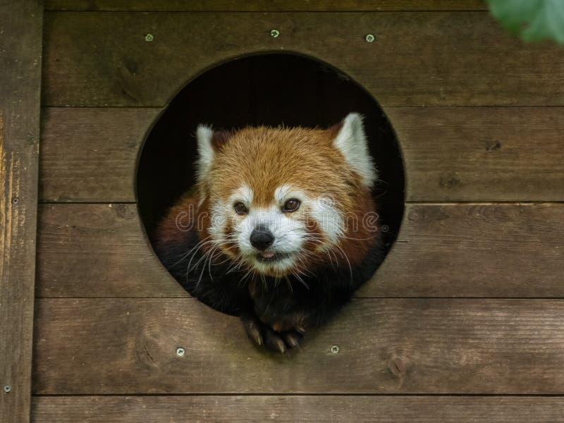 Röd panda som äter i en ZOO royaltyfri foto