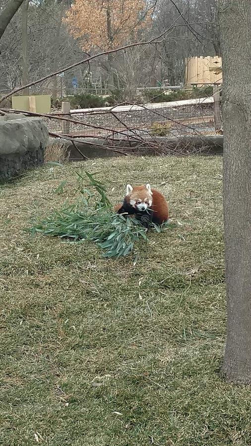 Röd panda som äter sidor från filial, medan sitta på grunden av ett träd arkivfoton