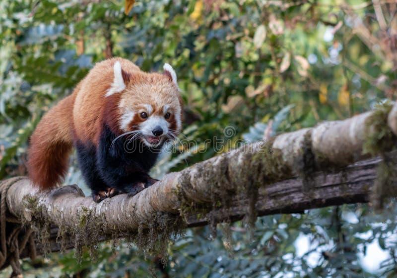 R?d panda som g?r till och med tr?dfilial fotografering för bildbyråer