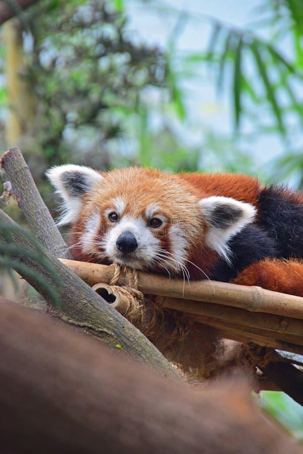 Röd panda som stirrar på oss, medan vila på bambuservice arkivfoton