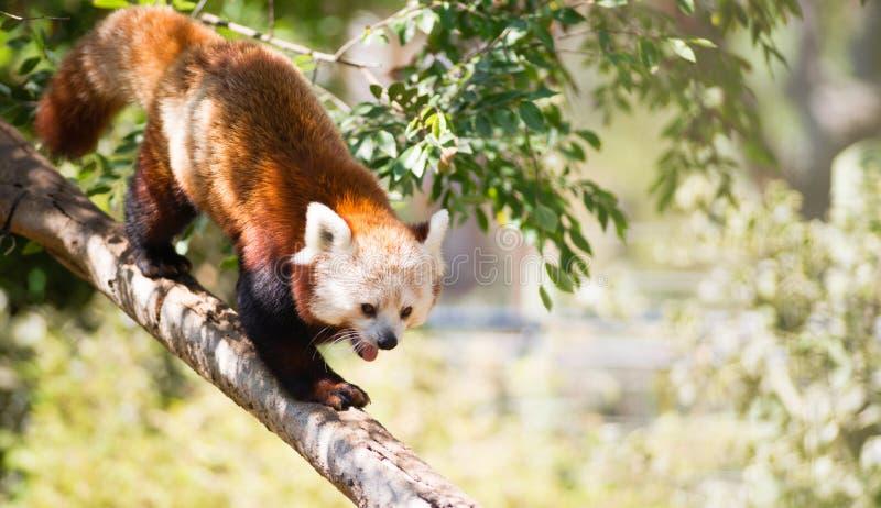 Röd Panda Wild Animal Walking Down trädlem arkivbild