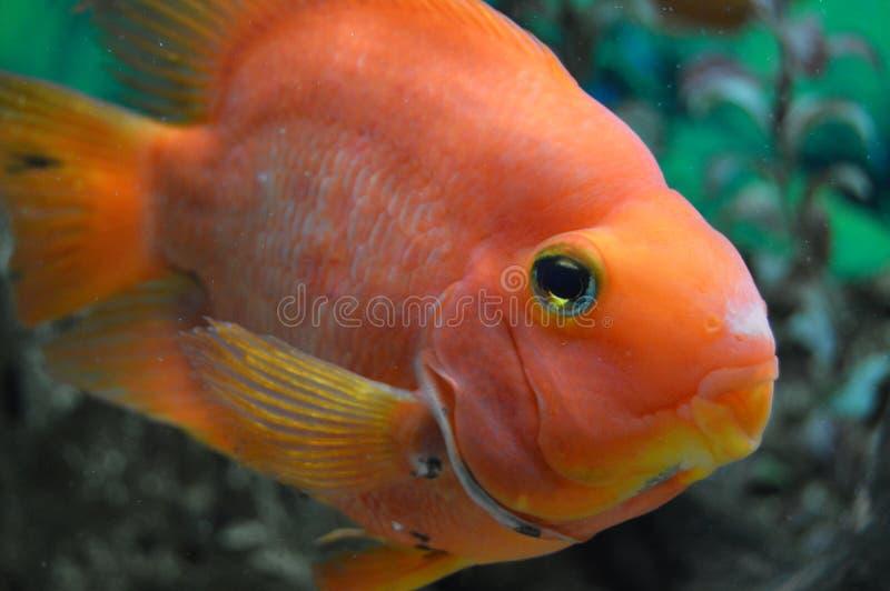 Röd papegoja för fisk arkivbild