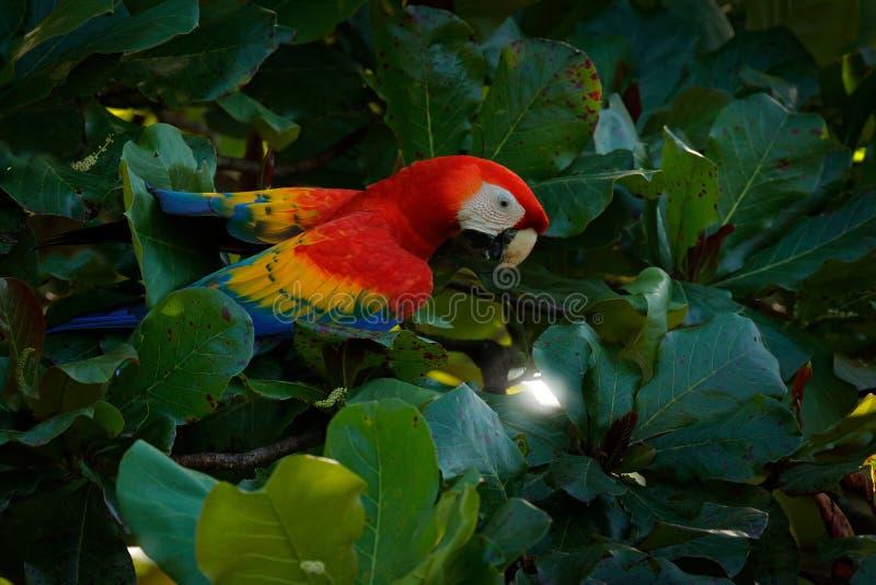 Röd papegoja från Mexico Scharlakansröd ara för röd papegoja, munkhättor Macao, fågel som sitter på filialen med mat Djurlivplats royaltyfri bild