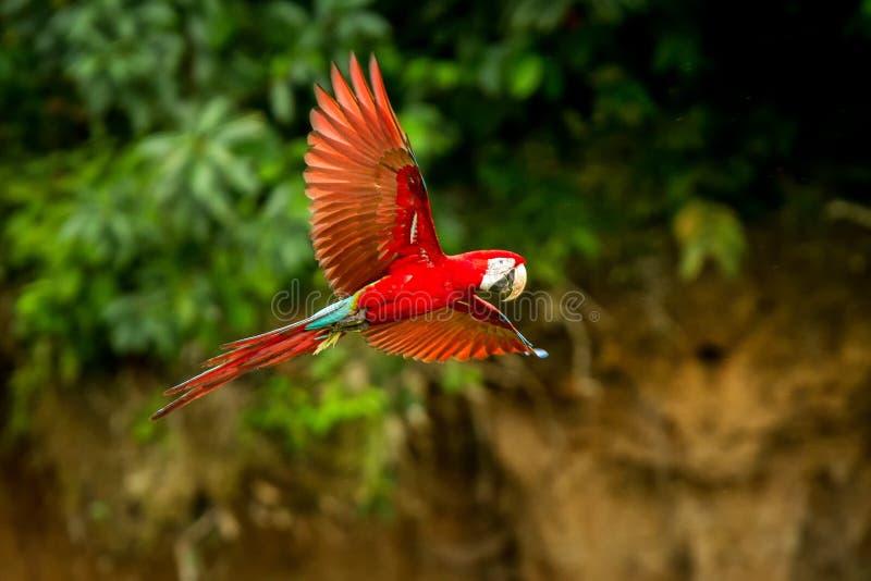 Röd papegoja i flykten Araflyg, grön vegetation i bakgrund Röd och grön ara i tropisk skog royaltyfria bilder