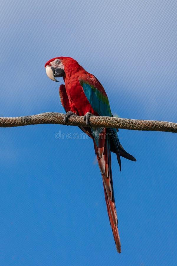 Röd papegoja perorvar på rep royaltyfri foto