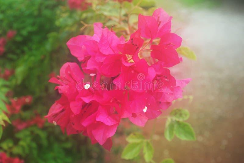 Röd pappers- blomma för mjuk suddighet eller bougainvilleablomma i trädgården fotografering för bildbyråer
