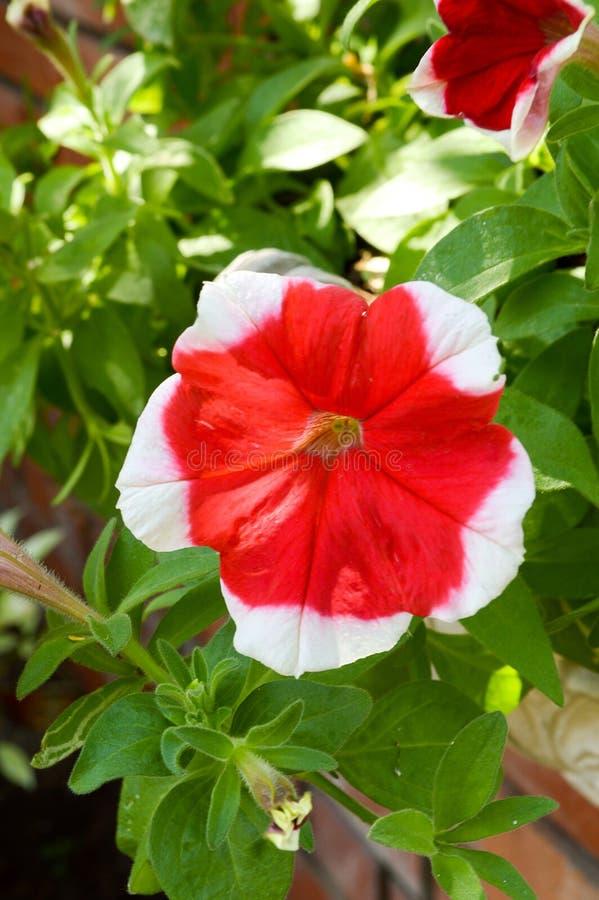 Röd petuniahybridablomma i naturträdgård arkivfoton