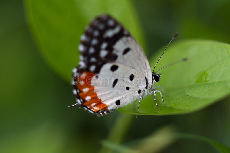 Röd pierrotfjärilsnärbild - Talicada nyseus på ett grässtrå driking daggdroppar royaltyfri foto