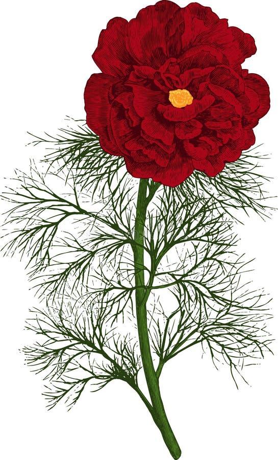 Röd piontenuifoliablomma. Vektor arkivbild