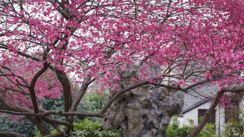 Röd plommon i den västra porten av Wuzhen royaltyfri fotografi