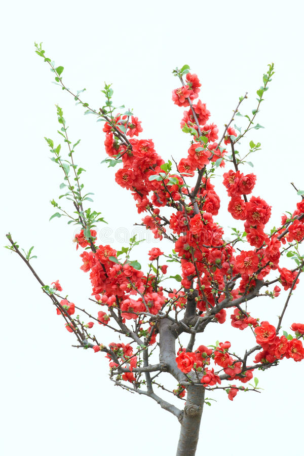 Röd plommonblomning arkivfoton