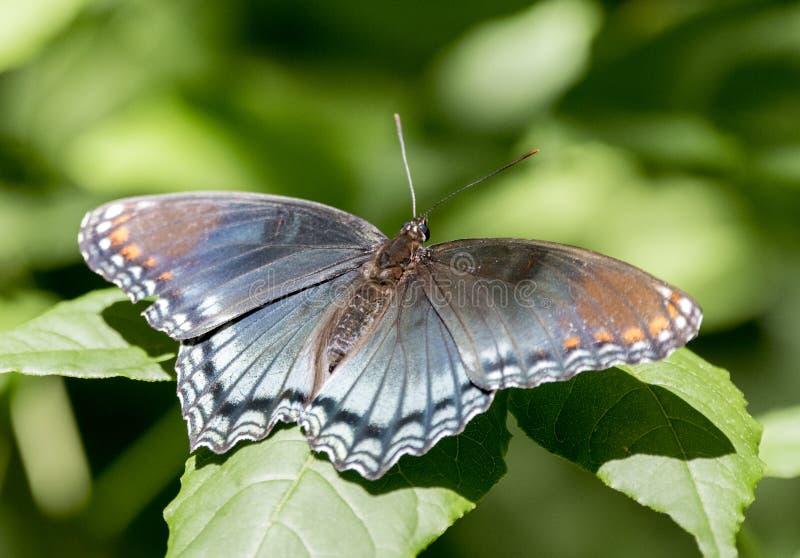 Röd prickig purpurfärgad amiral Butterfly, Walton County Georgia, USA royaltyfri fotografi