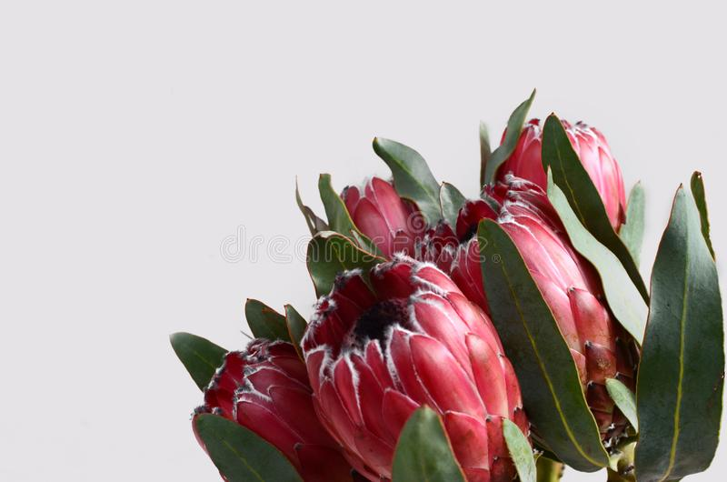 Röd proteablomma för bakgrund royaltyfri bild