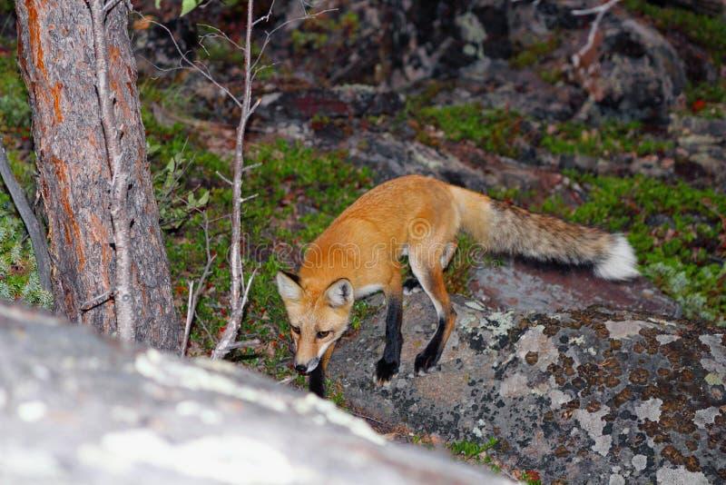 Röd räv i boreal skog nära Yellowknife, Northwest Territories royaltyfri fotografi