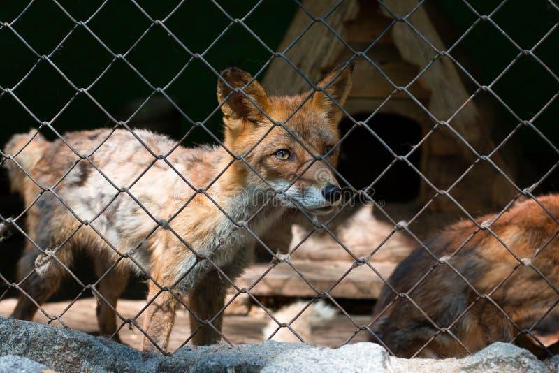 Röd räv i en bur i en zoo close upp Bekl?da besk?dar arkivfoton