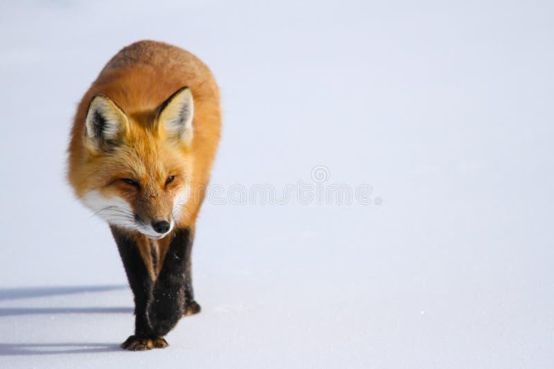 Röd räv i snö