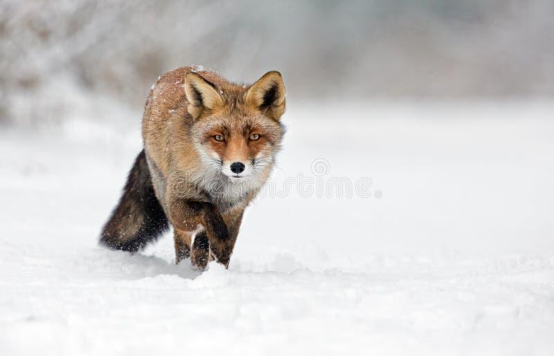 Röd räv i snowen royaltyfria bilder