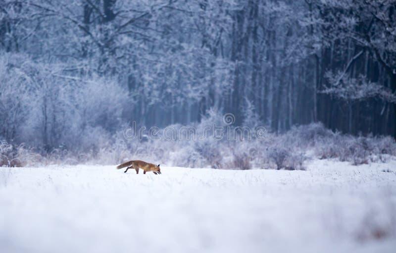 Röd räv som går i skog på snö royaltyfri bild