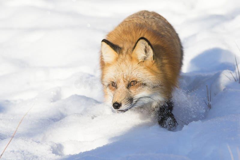 Röd räv som stryker omkring i snö royaltyfri fotografi