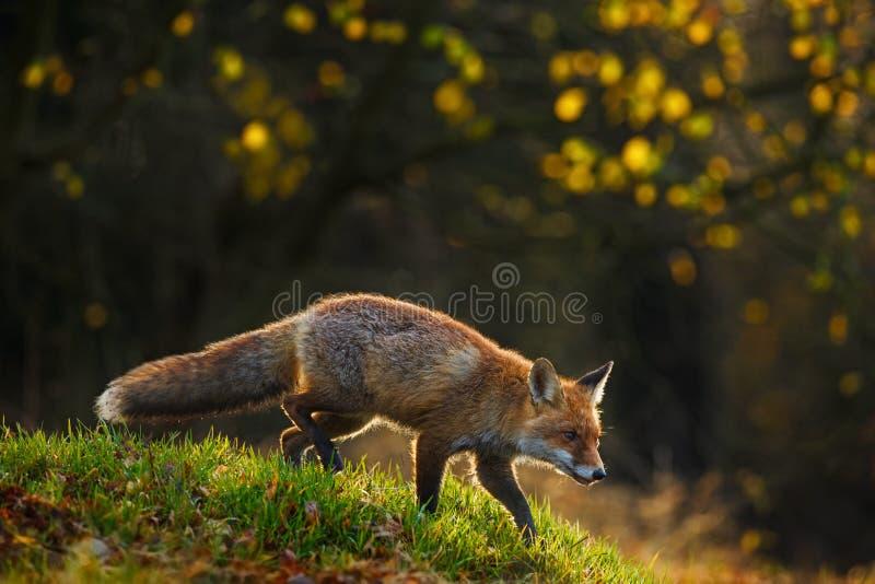 Röd räv, Vulpesvulpes, djur på skogen för grönt gräs under höst Räv i naturlivsmiljön Härlig aftonsol med trevlig lig royaltyfri bild