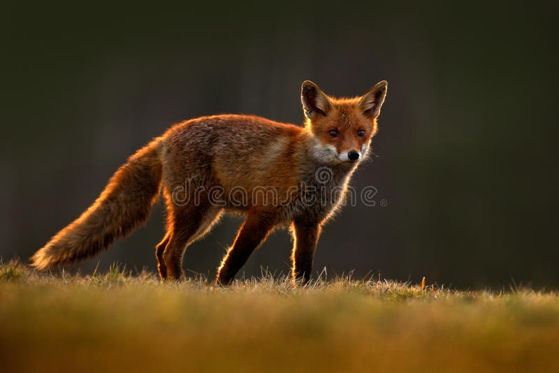 Röd räv, Vulpesvulpes, härligt djur på den gröna skogen med blommor, i naturlivsmiljön, aftonsol med trevligt ljus, solnedgång, royaltyfria foton