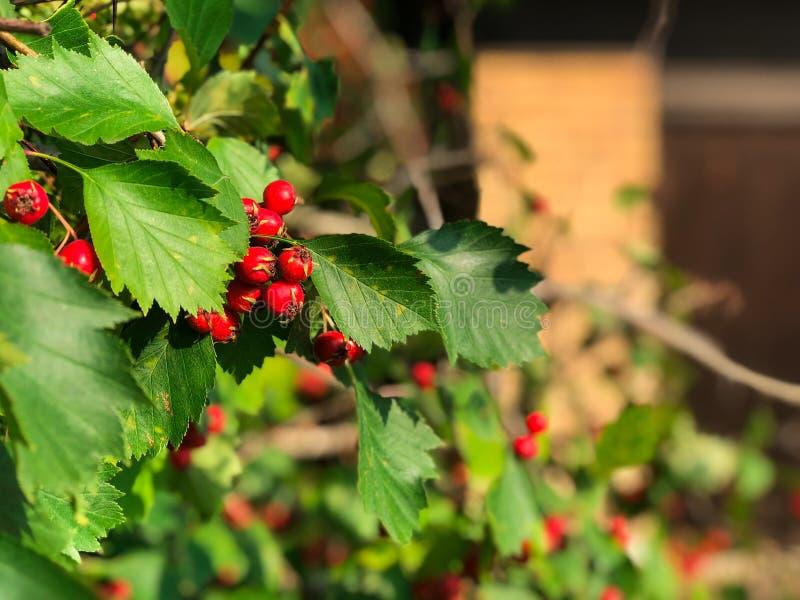 Röd rönn på en filial som vilt växer nära huset Röd bergaska, closeupsikt Höstbär av ashberry arkivbilder