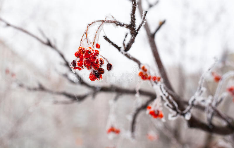 Röd rönnfrukt som täckas med rimfrost arkivbild