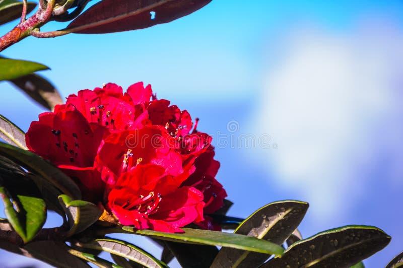 Röd rhododendron royaltyfri fotografi