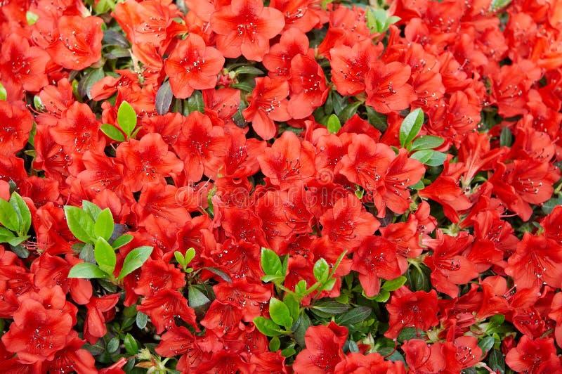 röd rhododendron arkivfoto
