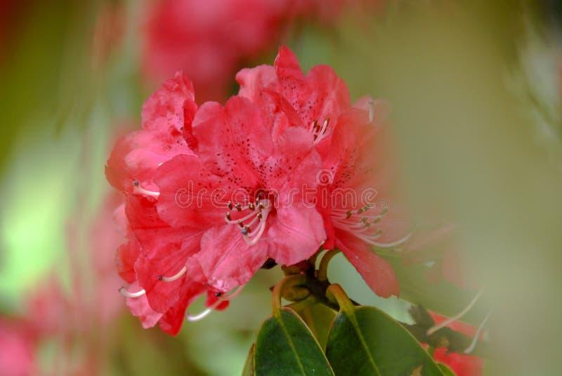 Röd rhododendronblomma med grön defocused bakgrund royaltyfri bild