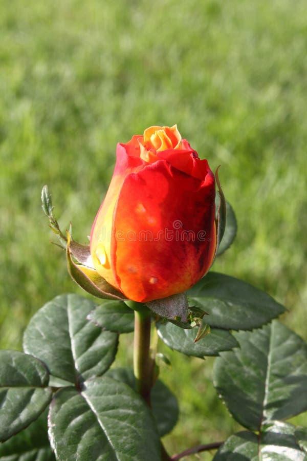 Röd ro med gula nyanser royaltyfri fotografi