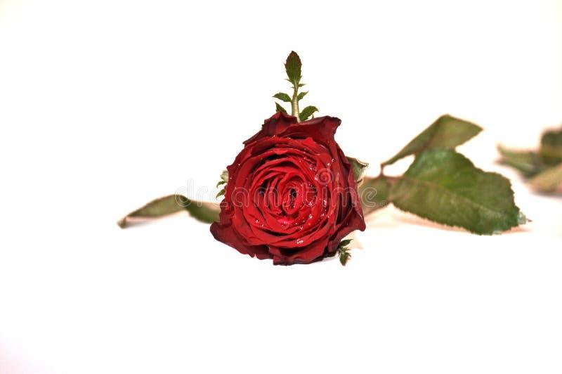 Röd ro på vit royaltyfri foto