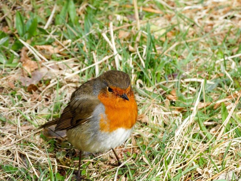 röd robin royaltyfri bild