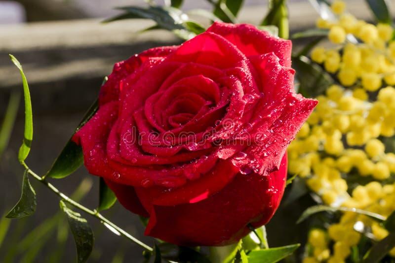 Röd ros för kvinnors dag arkivfoto