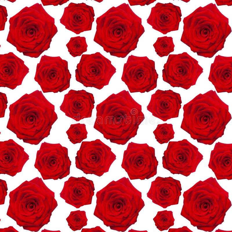 Röd ros för modellrepetition fotografering för bildbyråer