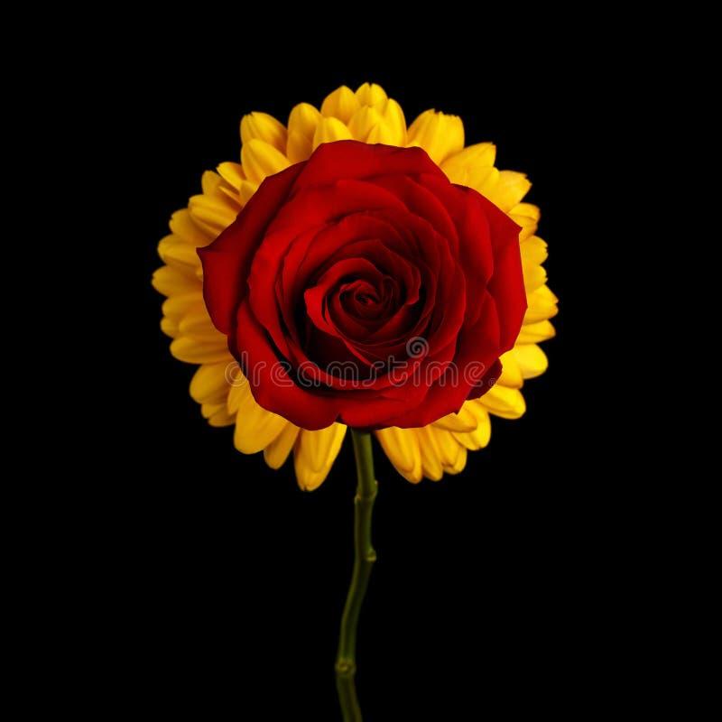 Röd ros för närbild på isolerad svart bakgrund royaltyfria foton