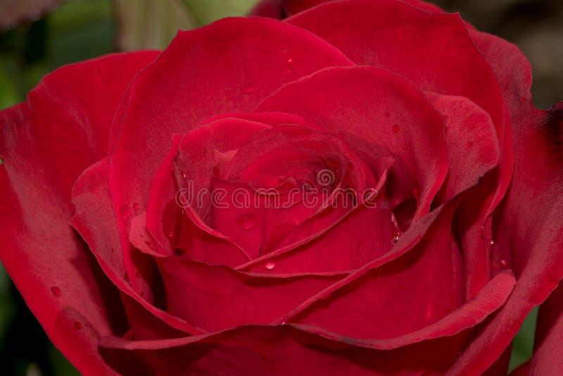 Röd ros för olympiad arkivfoto