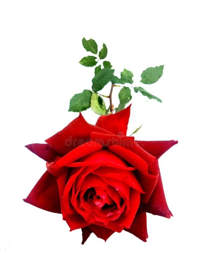 Röd ros för valentin, förälskelsebegrepp valentin för dag s royaltyfri bild
