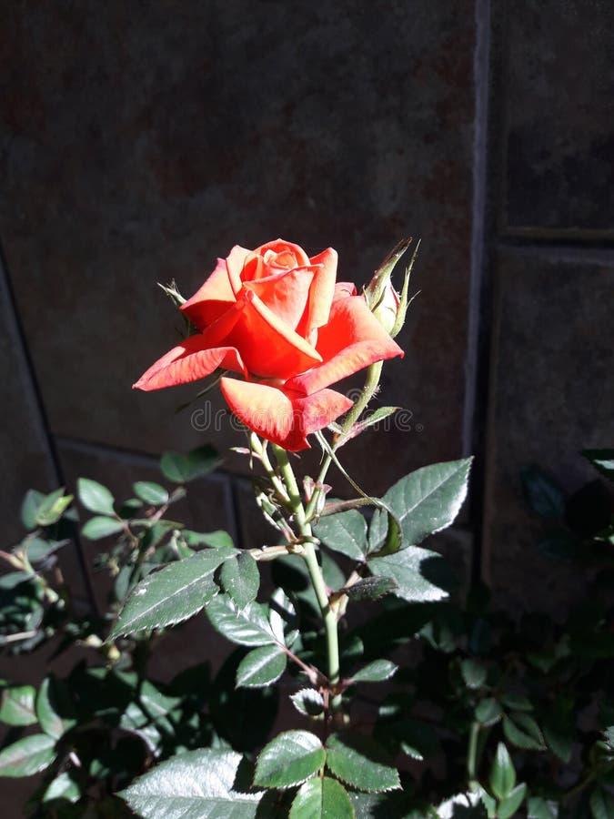 Röd ros genomdränkt färg royaltyfri bild