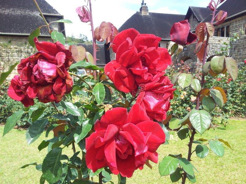 'röd ros härliga blomma i Sri Lanka royaltyfria bilder