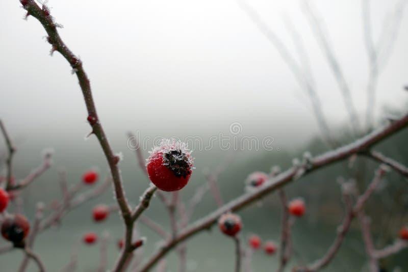 Röd ros-höfter makro i vinter royaltyfria foton