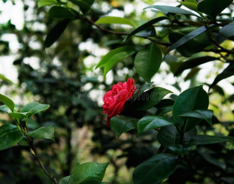 Röd ros i botaniska trädgården av St Petersburg fotografering för bildbyråer