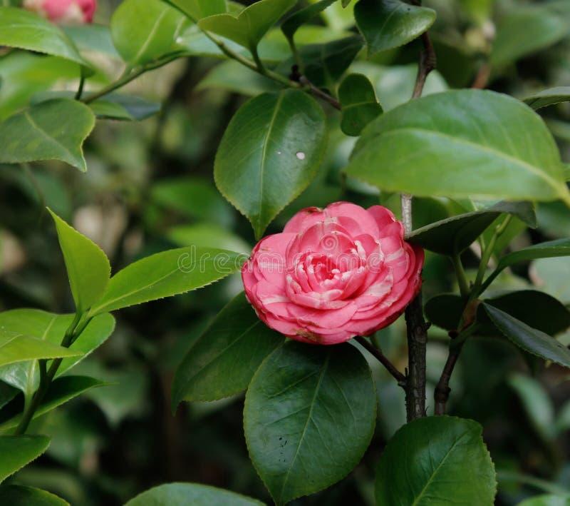 Röd ros i botaniska trädgården av St Petersburg royaltyfri bild