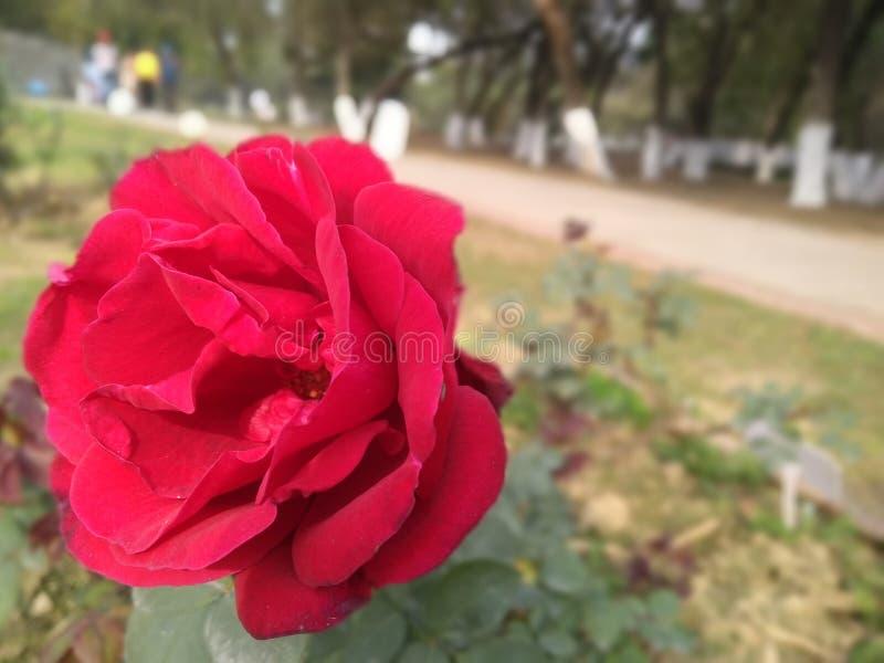 Röd ros i en parkera arkivbilder