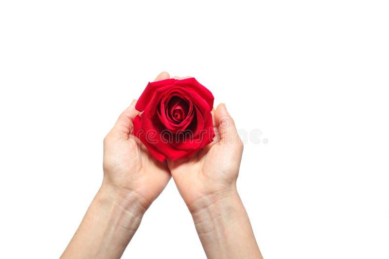 Röd ros i händer över vit bakgrund royaltyfria bilder